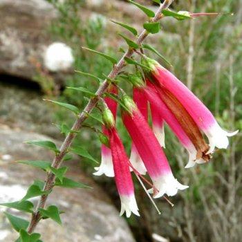 bush fuchsia epacris longiflora