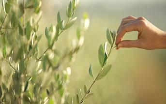 Ulivo: proprietà e rimedi naturali