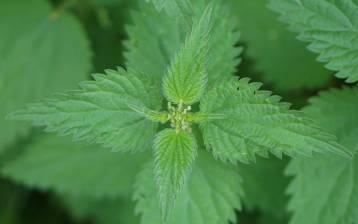 Ortica: i mille usi di una pianta dalle molteplici proprietà