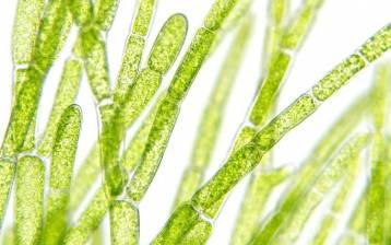 Alghe da premio Nobel