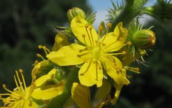 Agrimony: il Fiore di Bach per la risoluzione dei conflitti interiori