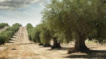 Olio extravergine di oliva di qualita: il Re degli Alimenti Nutraceutici