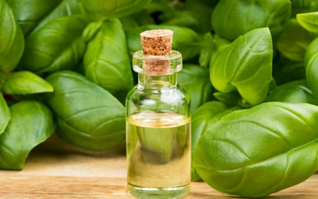 Il basilico e le virtù del suo olio essenziale