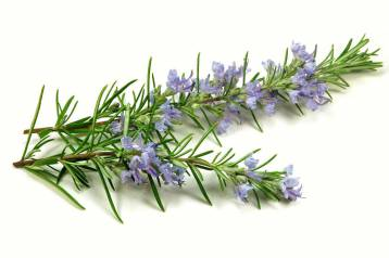 Le piante che curano: le proprietà del rosmarino