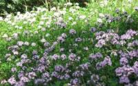 La Santoreggia: una pianta tante virtù